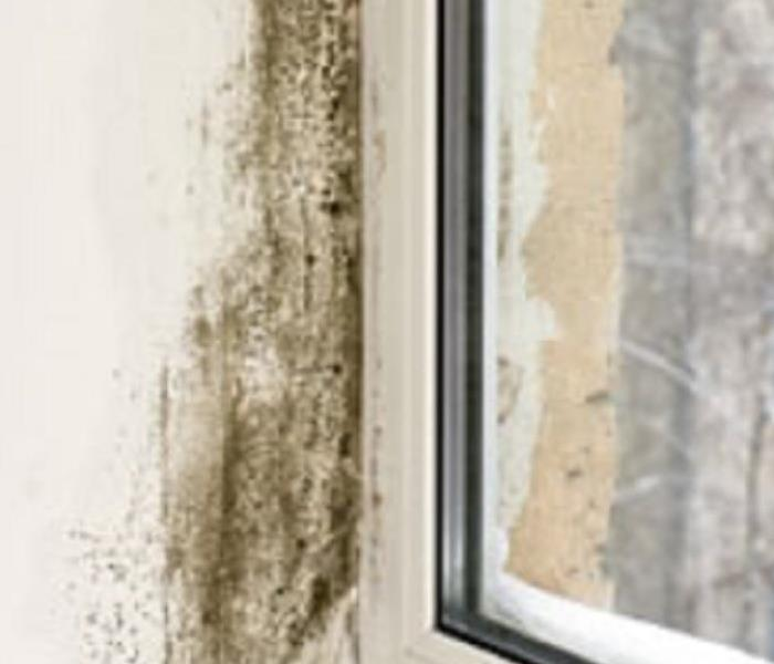 Mold Remediation Household Mold Acremonium